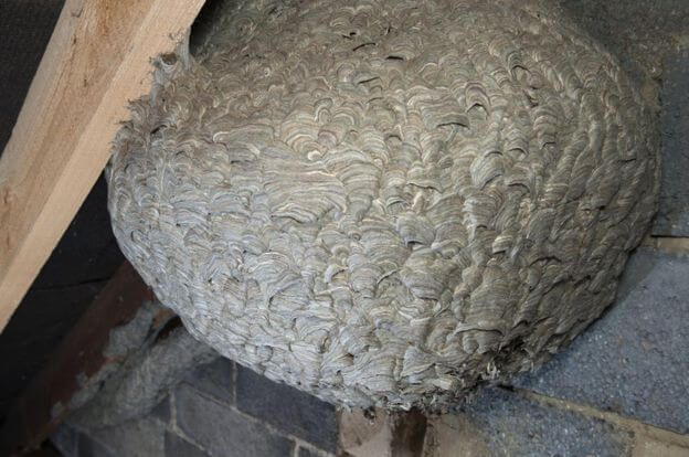 Huge Wasp Nest Was Discovered In The Attic Of A House