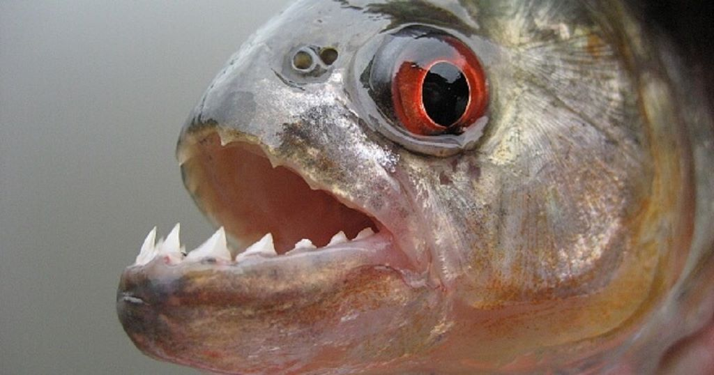 10 of the most dangerous freshwater fish look4ward for Most aggressive freshwater fish