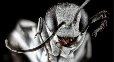 Spider Wasp Uses Wall Of Dead Ants To Protect Its Nest