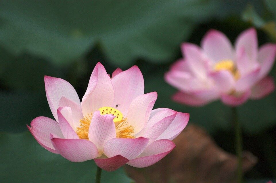 The divine lotus flower symbolism and meaning look4ward the divine lotus flower symbolism and meaning mightylinksfo Image collections