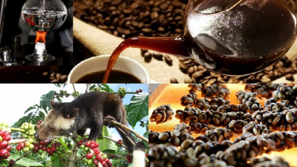 kopi luwak production