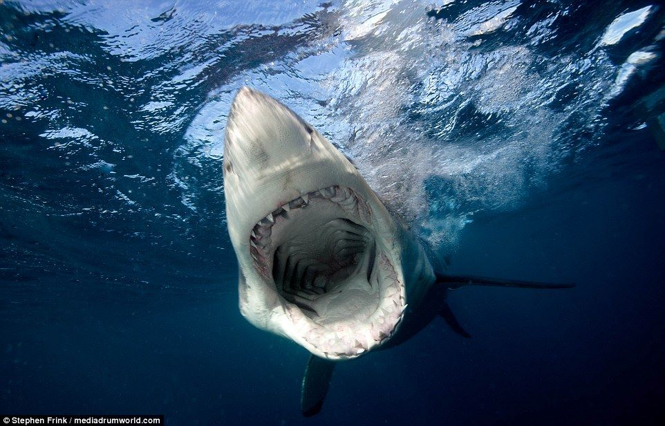The Largest Great White Shark Ever Captured On Underwater Camera1