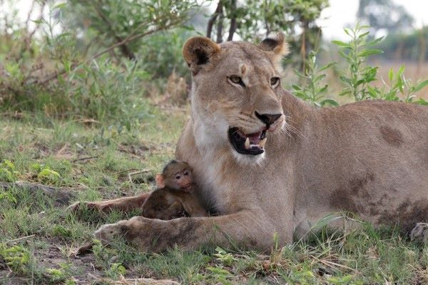 Lion-and-Baboon-600x399