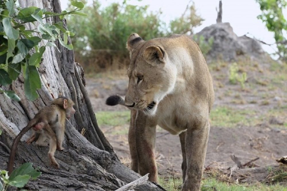 Lion-and-Baboon_DPP07DC0B0E150121-600x399