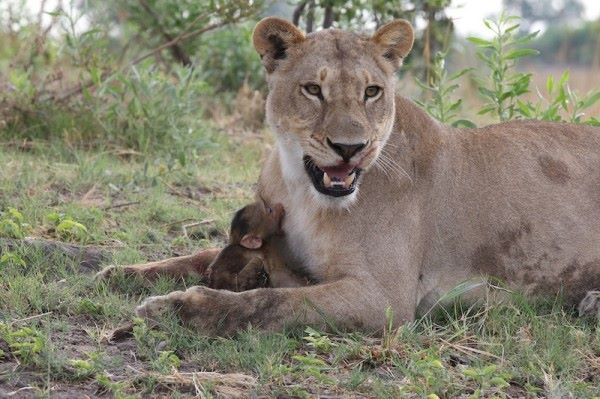 Lioness-Baboon_AH3C0012-600x399