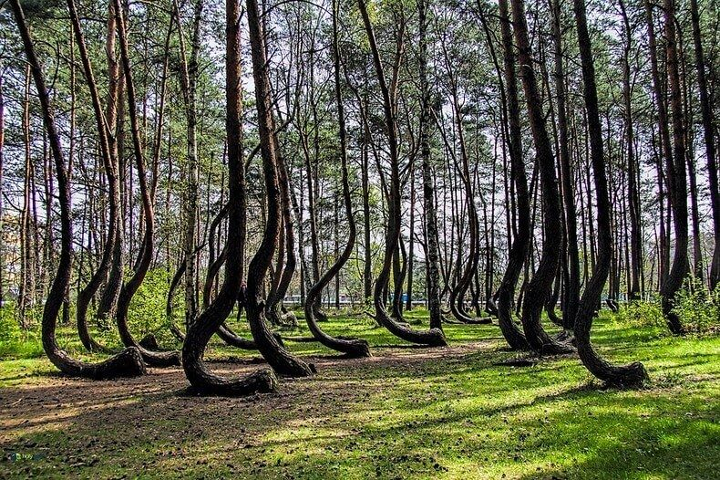 crooked-forest-12