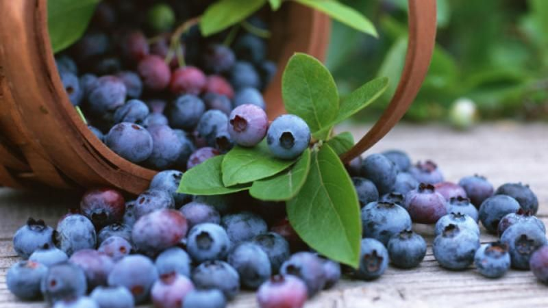 how-to-grow-blueberries-20150416163651-q75,dx800y-u1r1g0,c--