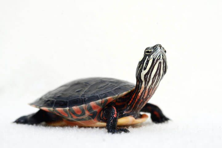 PaintedTurtle3copy