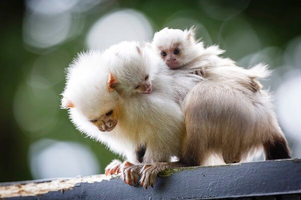 marmoset_dad_young