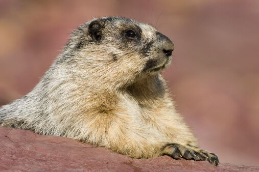 hoary-marmot-hidden-lake-overlook-area-glacier-national-park-montana-picture-id177796374