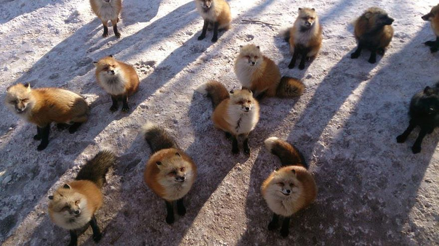 zao-fox-village-japan