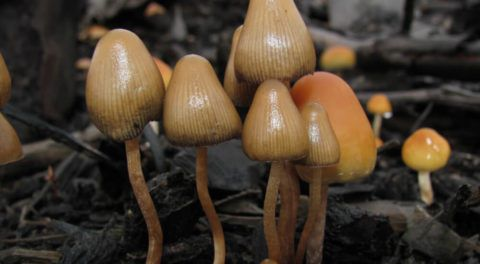 Magic Mushrooms: Cancer Patients Find Solace In This Mystical Drug