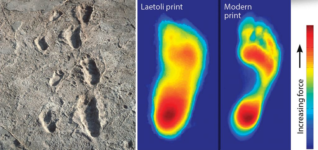 Hominin tracks at Laetoli, in Tanzania, were made about 3.6 million years ago (left). Computer models of the ancient footprints can be compared with that of a modern human to study gait (right). Left: John Reader/Science Source; Right: M. Bennett Et Al. J. R. Soc. Interface 2012 9 707-719