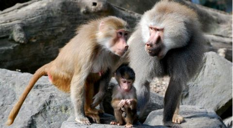 Baboon Mating Calls May Shed Light On Ancient Human Speech