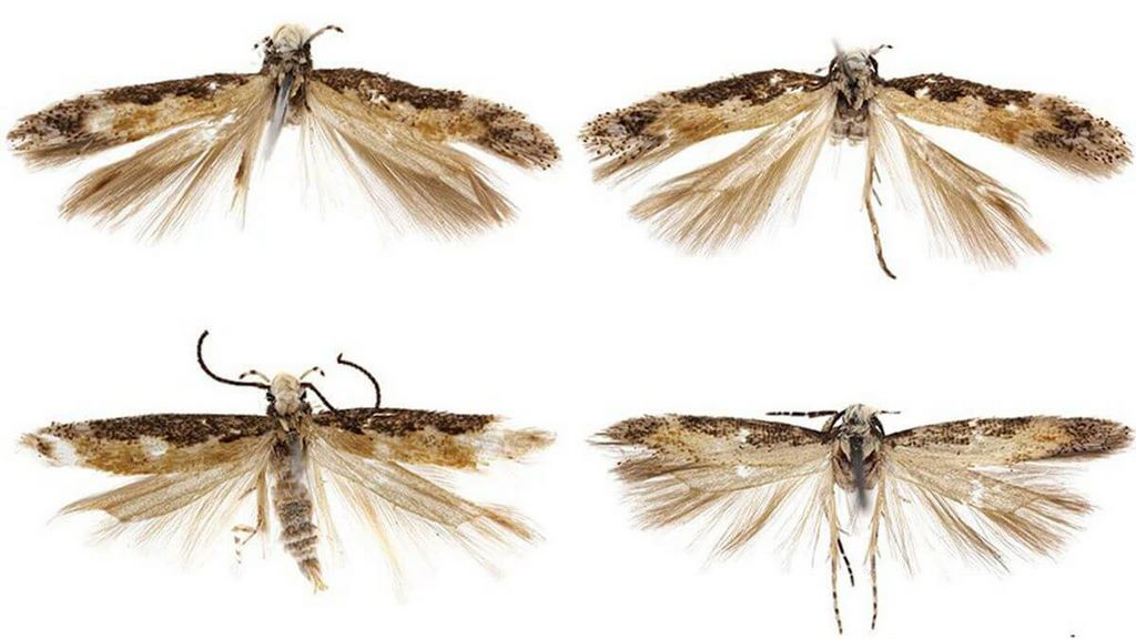 Newly Discovered Blond-Haired Moth Officially Named After Donald Trump