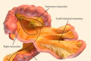 Mesentery - The New Human Organ Has Been Discovered