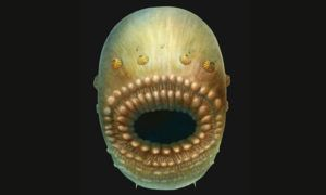 Ancient Human Ancestor Was Tiny Floating Bag With Giant Mouth And No Anus