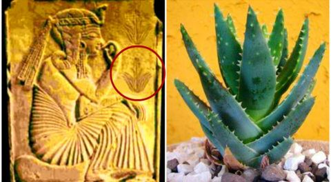 Aloe Vera - Ancient Plant of Immortality
