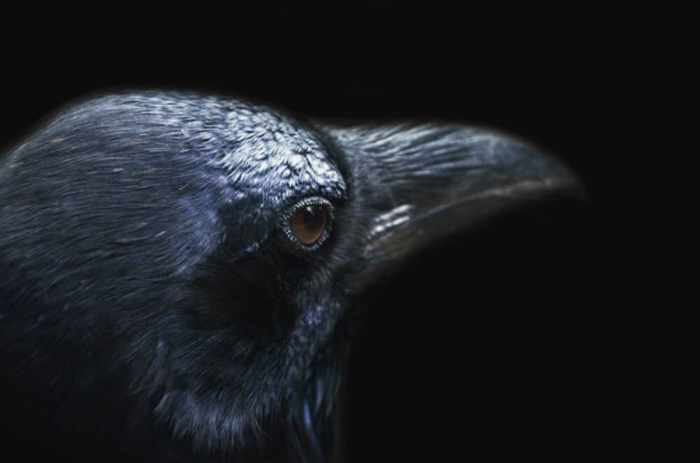 10 Intriguing Facts About Ravens