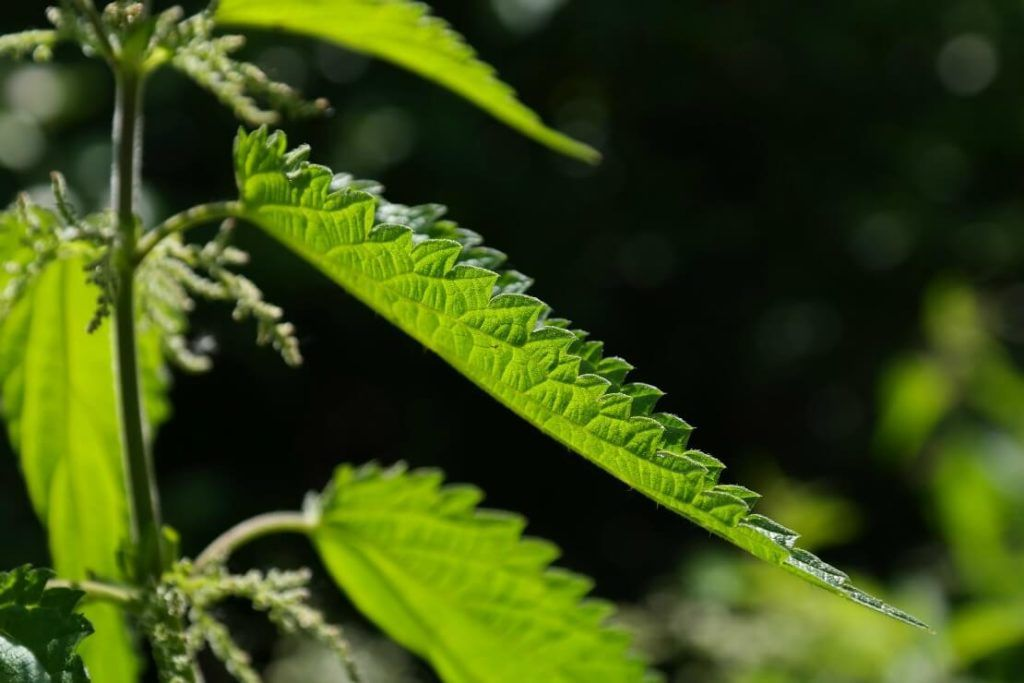 Noteworthy Benefits Of The Stinging Nettle