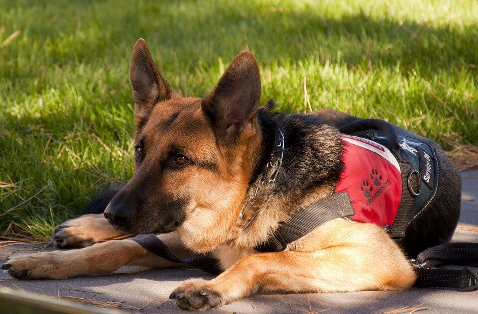 Dogs Can Sniff Out Breast Cancer, Study Claims