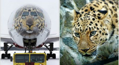 Flying To Save The Rarest Big Cat On The Planet