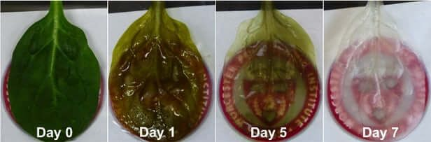 Scientists Transformed A Spinach Leaf Into Mini Version Of A Working Heart