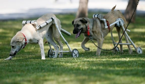 Animal Lover Builds Walkers For Disabled Dogs