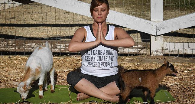 Latest Fitness Craze 'Goat Yoga' Takes Off In US