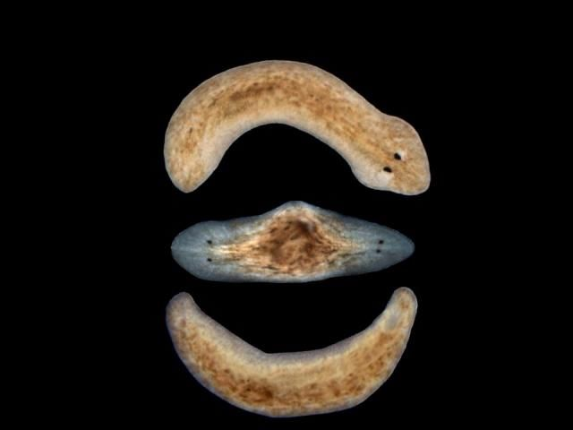 Bizarre Space Mutation: Flatworm Travels To Space, Comes Back With An Extra Head