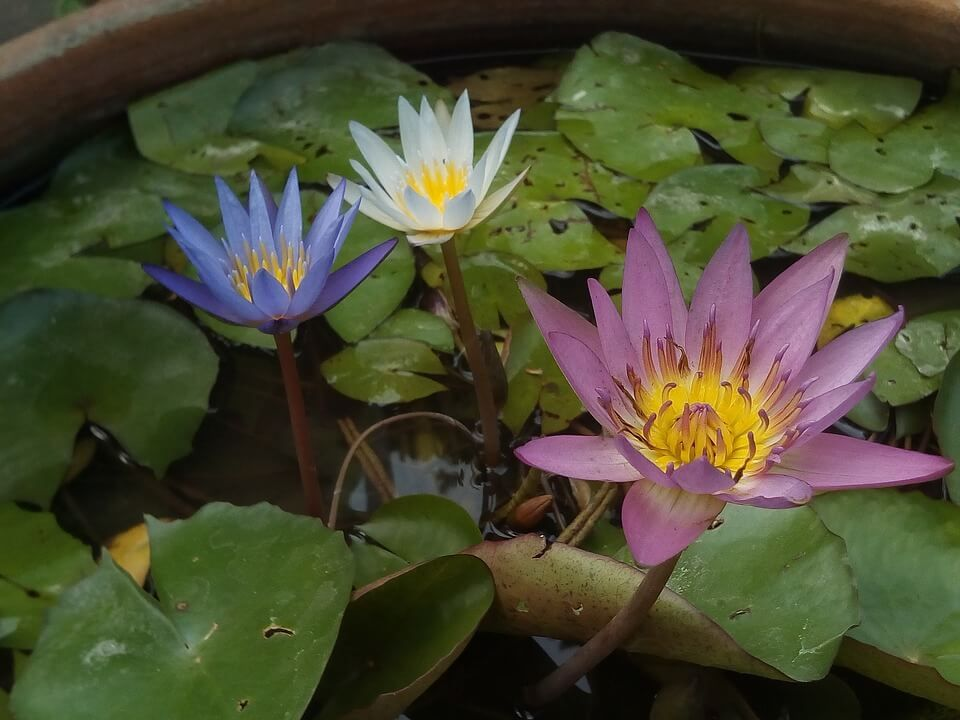 The Divine Lotus Flower Symbolism And Meaning Look4ward