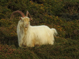 Interesting Facts About Llandudno Goats